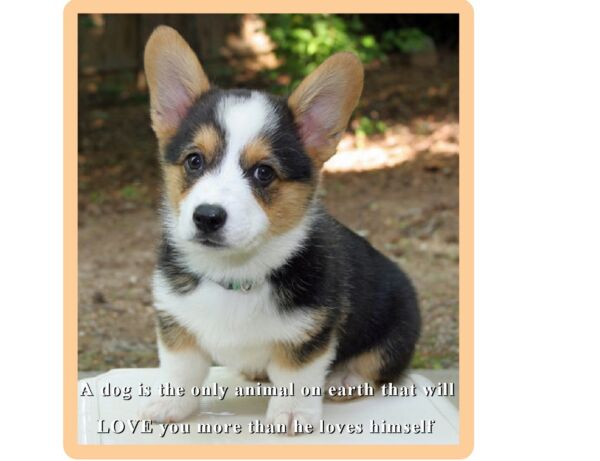 Cute Welsh Corgi Puppy Dog Refrigerator Tool Box Magnet Gift Card Insert $8.00