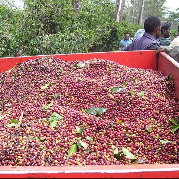 Green Coffee Beans - Papua New Guinea - Aianora - Organic - Unroasted