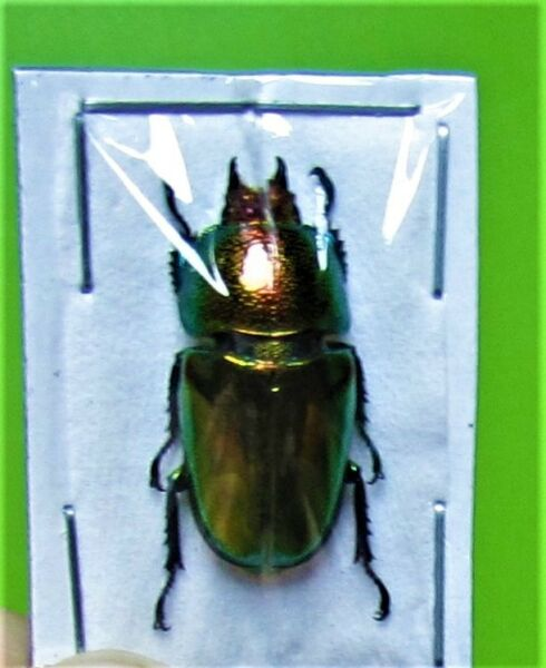 Lot of 2 Mount Arfak Stag Beetle Lamprima adolphinae Female FAST FROM USA $2.79