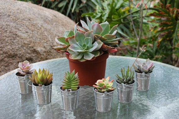 JIIMZ 70 Gorgeous Succulents 70 Adorable Silver Pail Complete Wedding Favor Kit