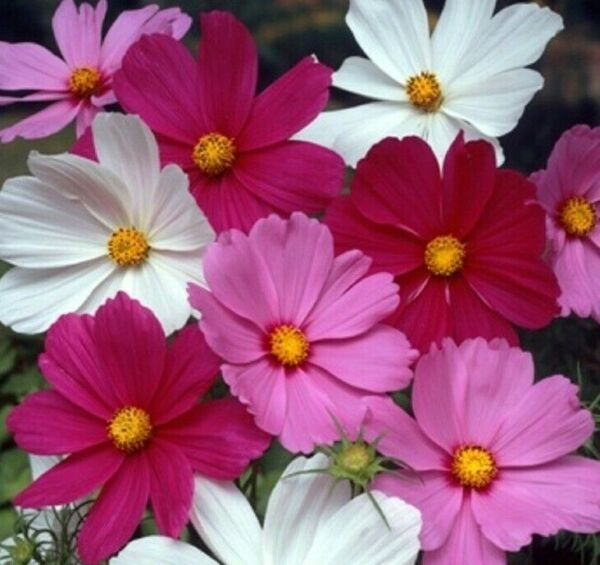 COSMOS FLOWER SEEDS 100 SENSATION MIX WHITE red PURPLE ANNUAL Free Shipping $1.90