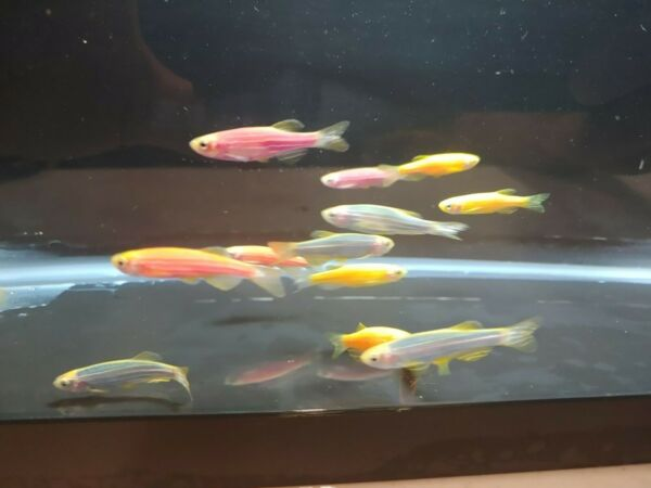 5 Assorted Glofish Danios FREE SHIPPING LIVE FISH $34.99