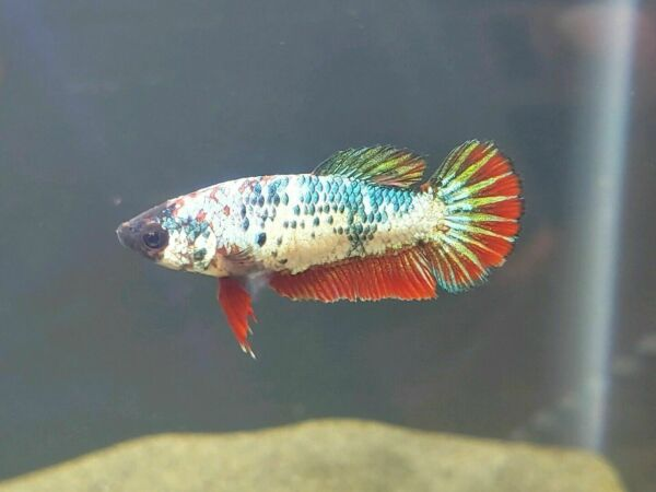 5 Female Betta Sorority NICE COLORS LIVE FISH FREE SHIPPING $34.99