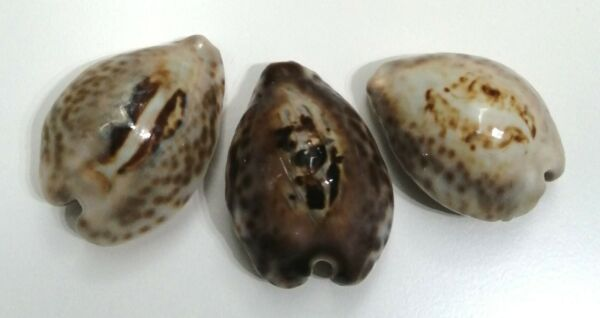 Shell CYPRAEA TEULEREI Oman 445 413 mm # selected trio of different colors $55.00