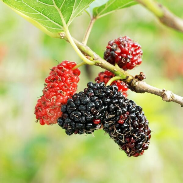 10 Mulberry tree cuttings unrooted