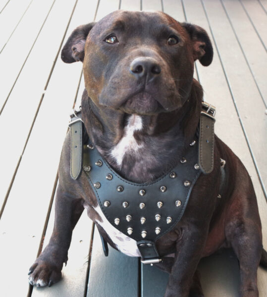 Dog Harness Leather Collar Leash Set For Pitbull Mastiff 26quot; 33quot; Studded Spiked $24.69