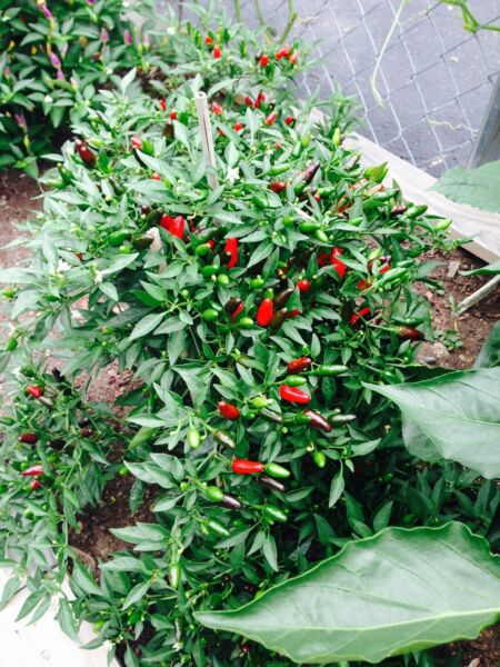 Thai Tiny Hot Pepper 30 organic Seeds pepper FREE SHIPPING