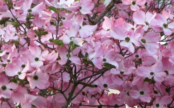 Pink Dogwood Tree 8-12