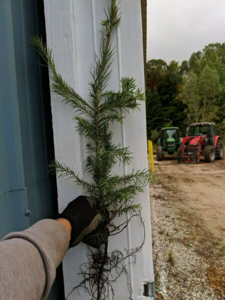 25 DOUGLAS FIR TREE SEEDLINGS 20 INCHES TALL GROWER DIRECT