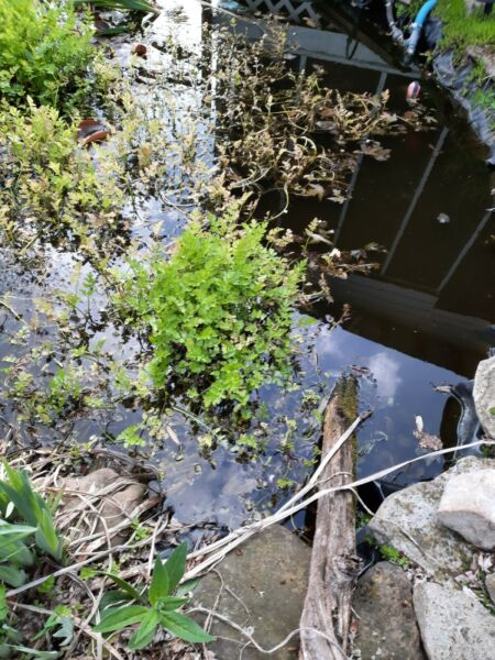 5 water celery plants for ponds and bogs $10.00