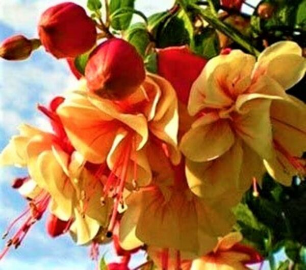 Yellow Red Double Petals Fuchsia Bonsai Potted Flowers Plants Hanging 80 Seeds