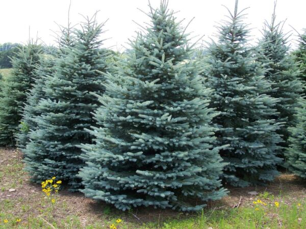 Colorado Blue Spruce Tree Seeds