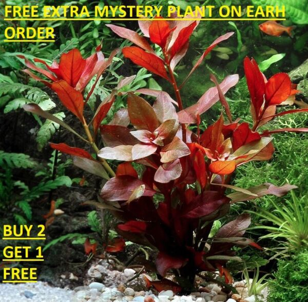Ludwigia Repens Red Bunch Fresh Live Aquatic Plants Aquarium BUY2GET1FREE $7.99