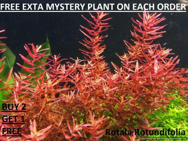 Rotala Rotundifolia RED Live Aquarium Plant Aquatic Planted tank BUY2GET1FREE $7.98