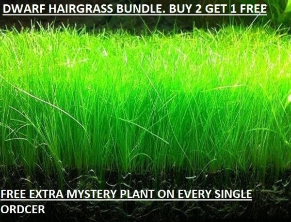 Dwarf Hairgrass Eleocharis Parvula Live Aquarium Plants BUY 2 GET1 FREE $7.99