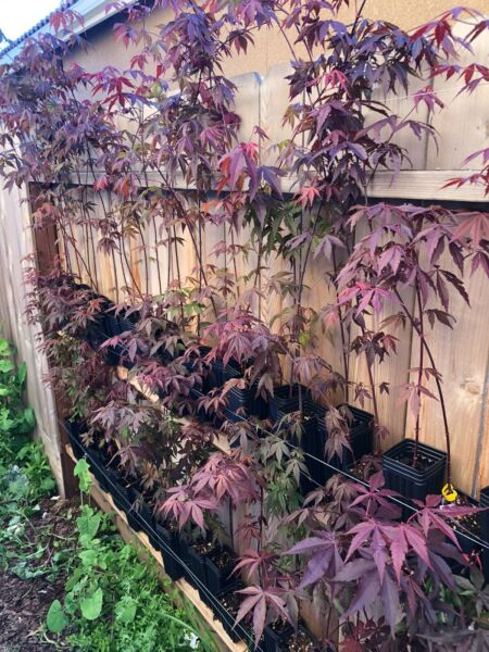 Red Japanese Maple Tree NOW ONLY$15