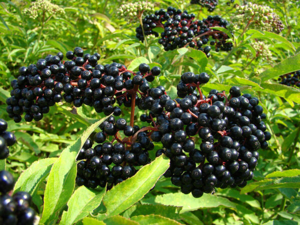 Elderberry BLACK ELDERBERRY tree berry 100 seeds