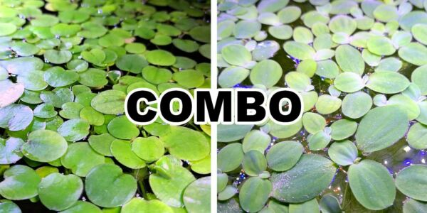 5 Amazon Frogbit 5 Water Lettuce 2 BONUS Live floating plant aquarium pond $9.99