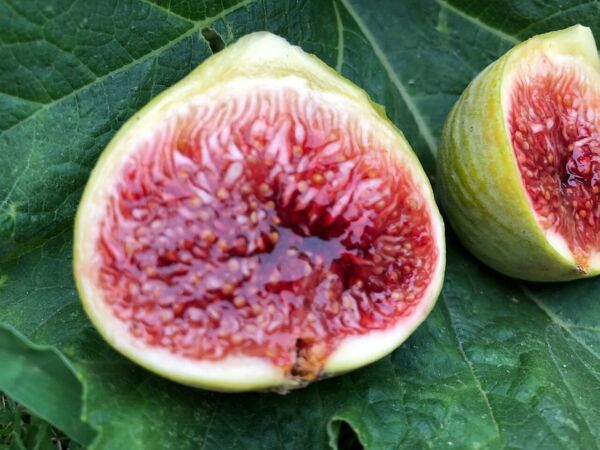 Fig Tree cuttings quot;White Adriaticquot; FREE US SHIPPING