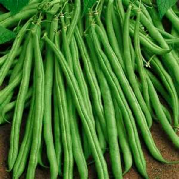 Tendergreen Bush Green Beans 5 6quot; LONG COMBINED S H SEE OUR STORE
