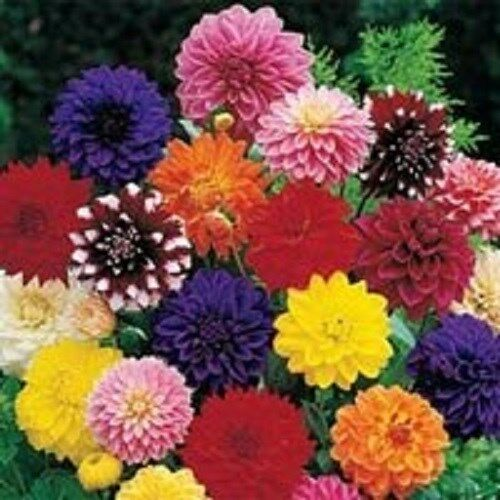 20 DINNER PLATE DAHLIA MIX FLOWER SEEDS EARLY BLOOMING BI COLORS AND SOLIDS