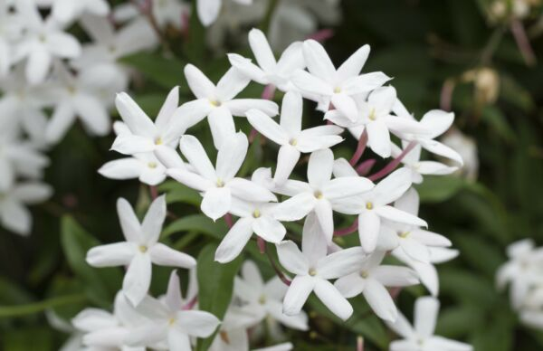 Confederate Jasmine Vine, LIVE POTTED Plant, Jasminoides, Very Fragrant, 6