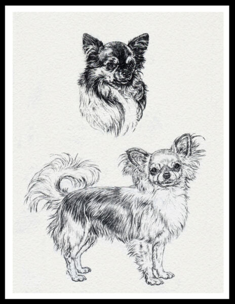 LONG HAIRED CHIHUAHUA DOGS LOVELY VINTAGE STYLE DOG SKETCH  PRINT POSTER