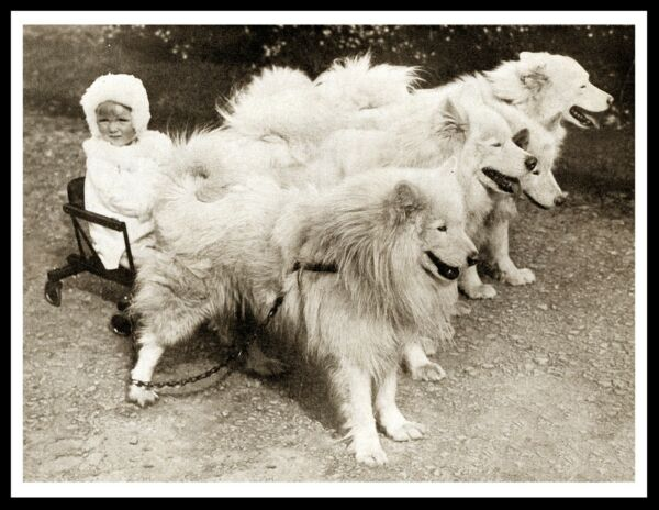 LITTLE GIRL IN SLED PULLED BY SAMOYED DOGS LOVELY VINTAGE STYLE DOG PRINT POSTER