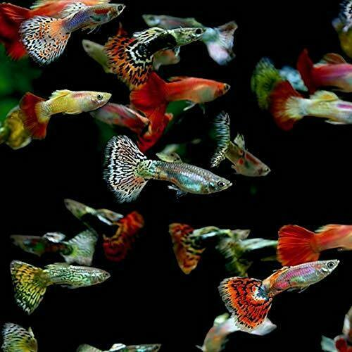 5 Fancy Guppy Males Live Freshwater Aquarium Fish $12.75