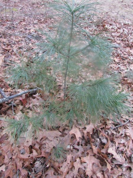 25 eastern white pine tree seedlings fresh green. 6 to 12 inches tall