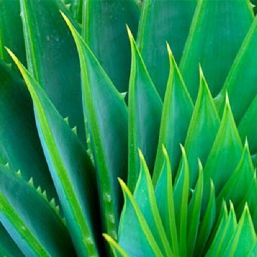 Aloe Vera Gel Pure Organic THE ONLY After-Microdermabrasion Moisturizer Lotion