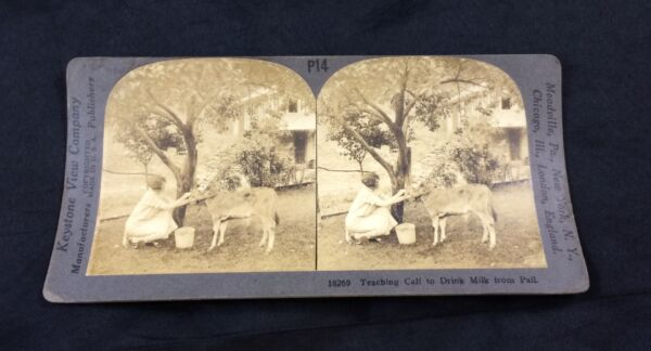 Antique Stereoview Photograph Teaching Calf To Drink Milk From Pail