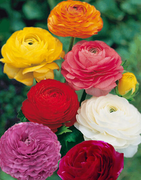 10 Ranunculus flower bulbs (all 10 of one color) or Mix Double Telecote sz. 78