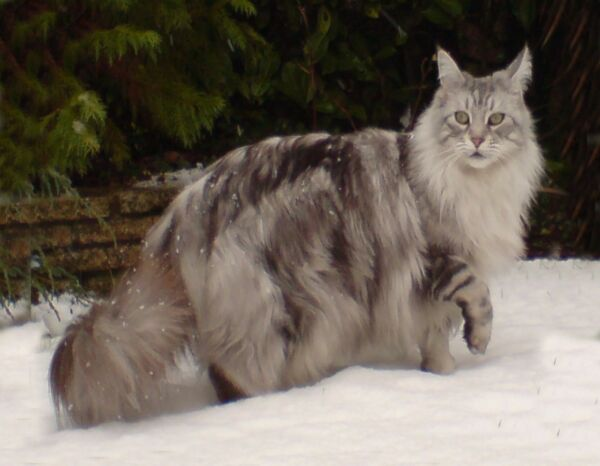 METAL REFRIGERATOR MAGNET Maine Coon Silver Tabby Cat Walking In Snow Cats