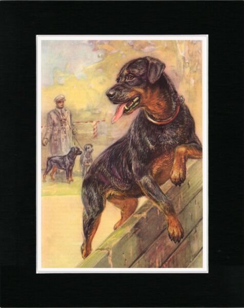 ROTTWEILER CLIMBING WALL IN TRAINING LOVELY VINTAGE STYLE DOG ART PRINT MATTED