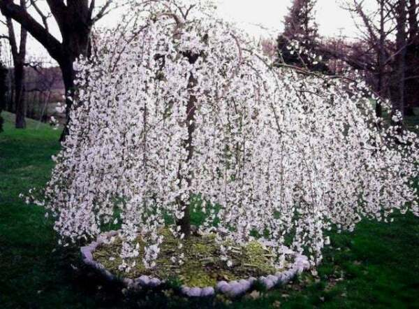 Weeping Cherry Tree Live Plant 6 12quot; Tall 3quot; Pot Ships Potted