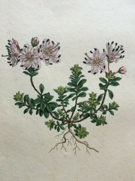 Vintage Curtis 1799 Hand-Colored Botanical Print Thyme Leaved Rhododendron 488