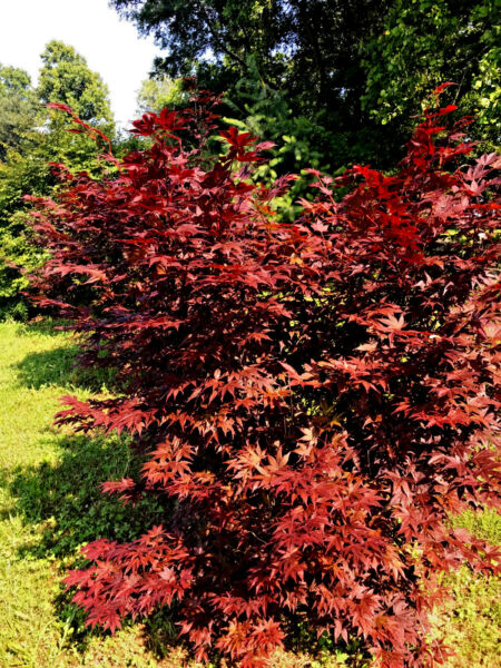 2 - Red Japanese maple seedling trees - Average 2-3 FOOT TALL NOW free sh
