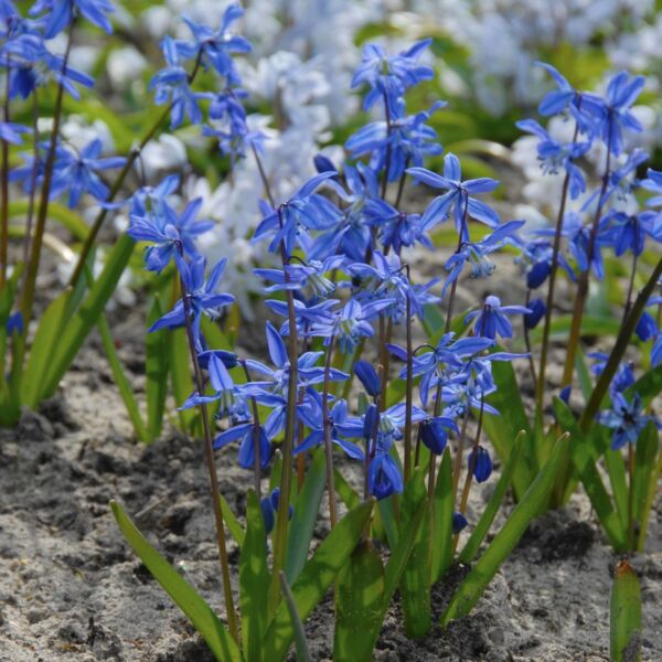 SCILLA - BLUE PERENNIAL FLOWER - Sun or Shade - 15 BULBS!! GroCo live plants USA