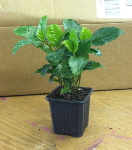 Coffee Bean Plant Seeds - TROPICAL ROBUSTA - New Limited Variety - One Pound