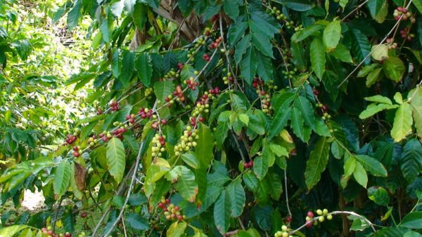 Coffee Bean Plant Seeds - BRAZILIAN PEABERRY - Tropical Plant - One Pound Seeds