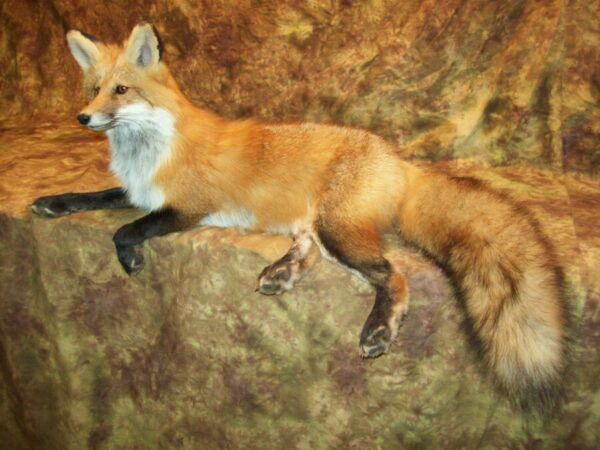 Gorgeous Red Fox Mantle Mount Taxidermy Texas Hunt Deer Traps Log Cabin Antlers