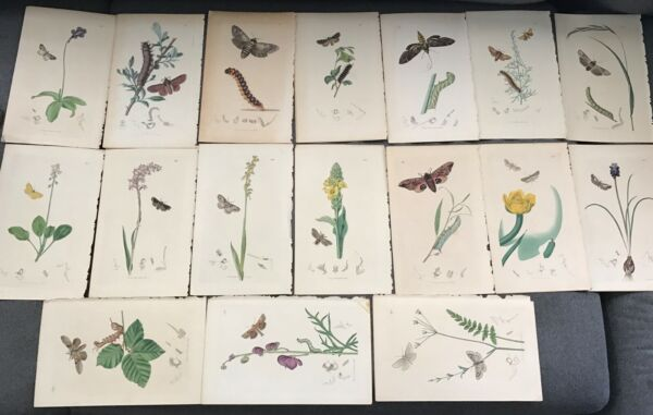 T. CURTIS (17) PUBLISHED BOTANICAL BOOK PLATES FROM JUNE 11824 - MAY 11838