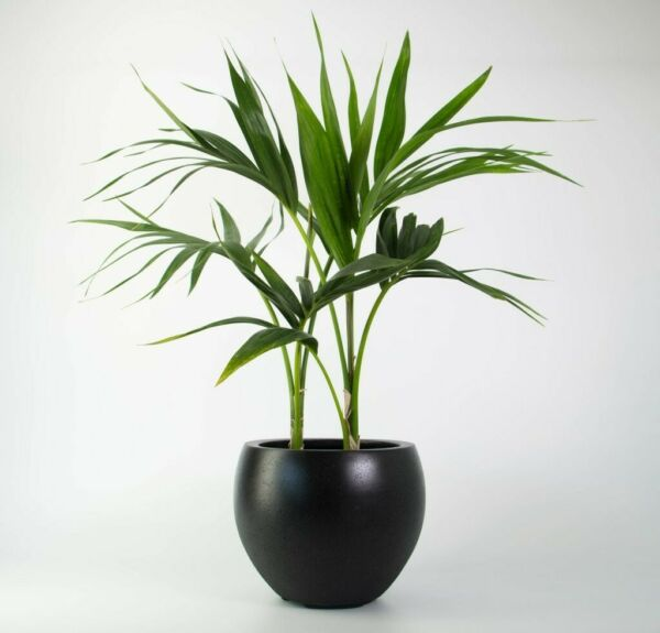 Kentia Palm seedling about 13 inches and grown in good conditions.