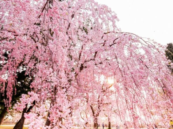 Pink Weeping Cherry Tree 10 Cuttings No Roots Beautiful blooms early spring Fast