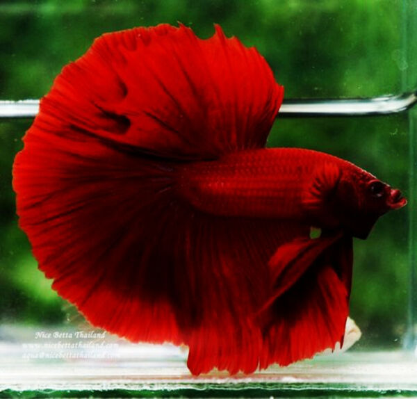 Live Betta Fish Male High Quality Halfmoon High Quality Super Red Vocalo #2 $15.00