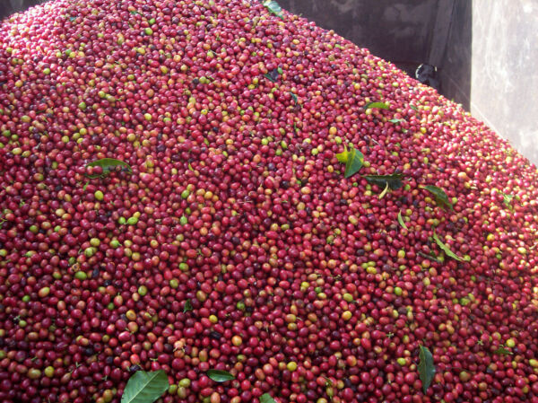 10 lb Combo - ½ Sumatra Mandheling & ½ Colombia Supremo Raw Green Coffee Beans
