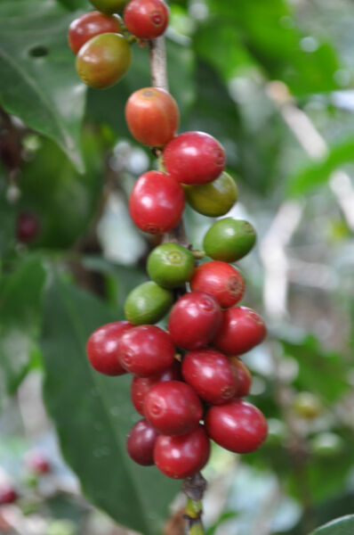 10 lb. Combo - ½ Sumatra Mandheling & ½ Colombia Supremo Raw Green Coffee Beans