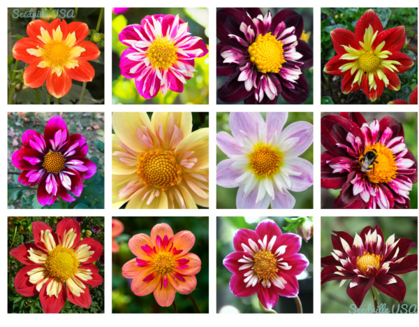 50 MIXED COLLARETTE DAHLIA Variabilis Two Tone Red Pink Yellow Flower Seeds