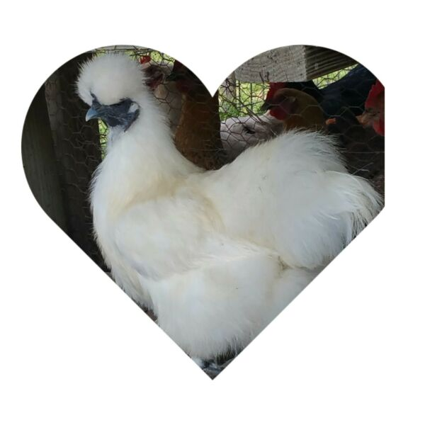6 + 2 Extra  PURE WHITE SILKIE FERTILE HATCHING CHICKEN EGGS  **Free Shipping